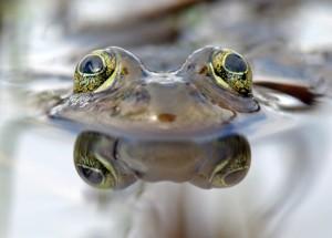 Rana-pretiosa-Oregon-Spotted-Frog-Andy-OConnor-550